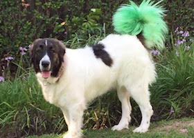 dog with tail painted green