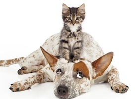 A patient Queensland Heeler mixed breed dog laying against a white backdrop and rolling his eyes up at a little kitten sitting on his head