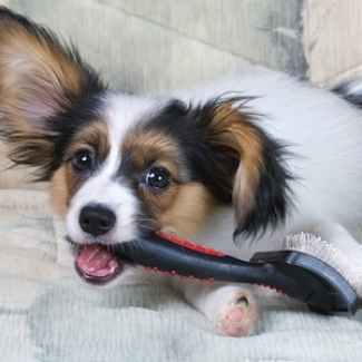 The puppy papillon gnaws brush for animals