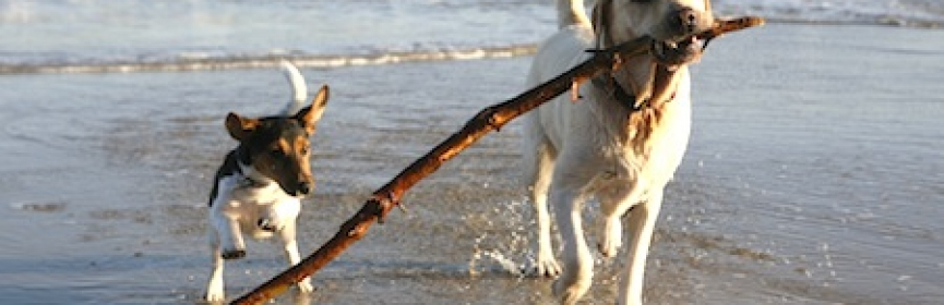 Labrador and Jack Russell dogs playing with a stick on the beach. Some motion blur on terrier.